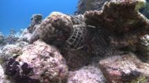 Yellowtail Coris Trapped In Fishing Net