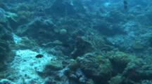 Banded Sea Krait Swimming Over Reef