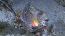 Papuan Toby Swimming