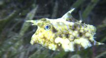 Longhorn Cowfish In Sea Grass