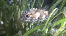 Orbicular Burrfish Swimming In Sea Grass