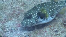 White-Spotted Puffer Sifting Through Sand With Mouth, Profile, Side View, Cu, Malapascua, Philippines