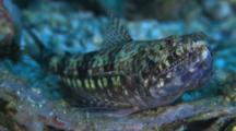 Twospot Lizardfish, Profile, Front View, Malapascua, Philippines