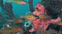 Giant Frogfish Feeding On Cardinalfish, Lembeh Strait, Sulawesi, Indonesia