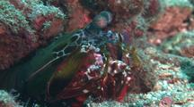 Peacock Mantis Shrimp At Entrance To Hole, Cu, Sulawesi, Indonesia