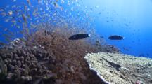 School Of Golden Sweepers And Other Reef Fishes, Baa Atoll, The Maldives