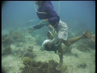Fisherman Collecting Stunned Fish From Cyanide Fishing