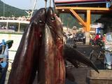 Dead Thresher Sharks At Fish Market