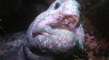 Wolf Eel, Head Shot, Newfoundland, Canada