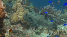 Star Pufferfish Feeding Komodo