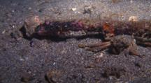 Decorator Crab With Very Large Awkward Stick For Camouflage