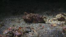 Flamboyant Cuttlefish Stalking Shrimp