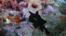 Frogfish Black Painted Walking