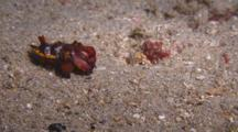 Flamboyant Cuttlefish Displaying
