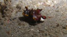 Flamboyant Cuttlefish Take Off
