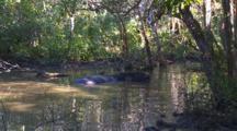 Water Buffalo In Pond