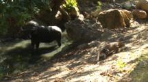 Water Buffalo Worried About Approaching Komodo Dragon