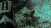 Web Burrfish All Puffs Up Against Nassau Grouper 03