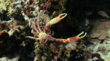 Spider Crab On Coral