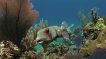 Pair Of Porcupinefish Follow Each Other Around Reef