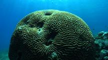 Brainshaped Coral, Sunbeam