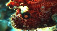 Leaf Scorpionfish Rippling
