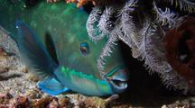 Parrotfish  In Protective Web 'sleeping Bag'