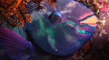 Parrotfish  Sleeping'