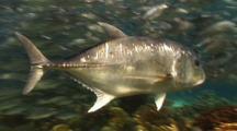 Giant Trevally Swims Among Shoal Of Big Eye Trevallies