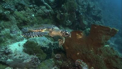 Hawksbill Approach Camera, Swims Right