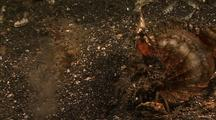 Devil Scorpionfish Displays To Buried