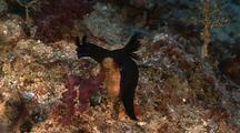 Nembrotha (Black) Nudibranch