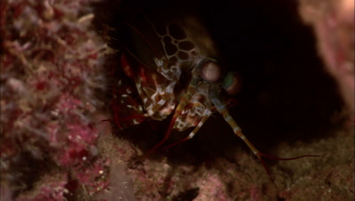 Mantis Shrimp Flashing Eyes