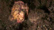 Decorator Crab Carries Anemones On Shell