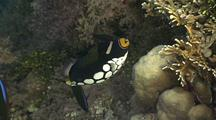 Clown Triggerfish Swims On Reef