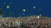 Dascyllus In Table Coral, Palette Surgeonfish