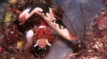 Nudibranch, Possibly Nembrotha, Crawls Over Scorpionfish