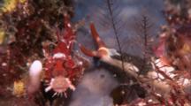 Nudibranch, Possibly Nembrotha, Crawls Toward Scorpionfish