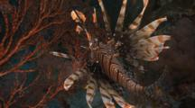 Lionfish Levitates, Twirls Above Sea Fan