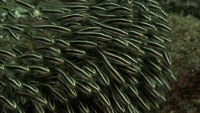 Striped Catfish School Swims In Synchrony