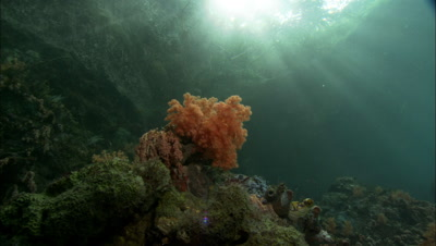 Soft Coral Just Below Surface, Dramatic Light