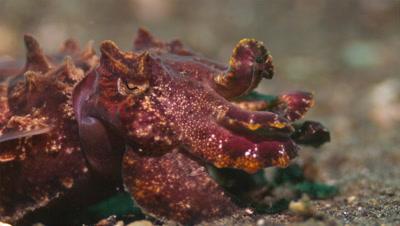 Flamboyant Cuttlefish Portrait