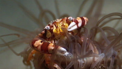 Harlequin Crab On Tube-Anemone
