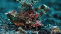 Ambon Scorpionfish