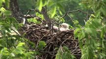 Baby Red Tail Hawk Chicks (2 Days Old)