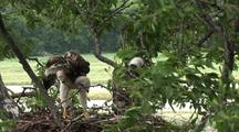 Baby Red Tail Hawk Chicks (4 Weeks Old)