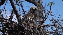 Baby Great Horned Owl Chick