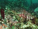 Kelp Fish On Bottom With Surge