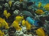 Yellow Tangs And Parrotfish