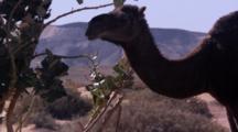 Camel Feeding